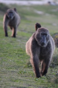 a family of baboons approaching us at the Cape Point