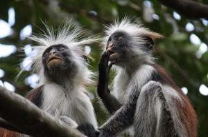 A couple of wild Red Colobus Monkeys. A species unique to Zanzibar.