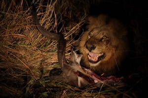 A lion devouring its prey in the Okavango