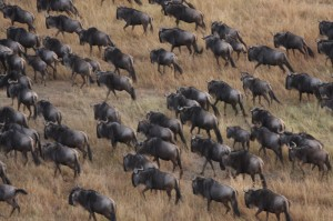 part of the Wildebeest Migration as seen from our hot air balloon flight