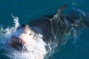 Close enounter with a Great White Shark