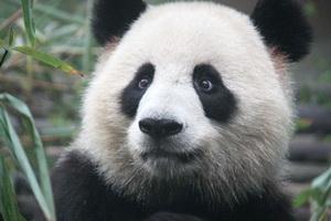 Visiting the Pandas in China